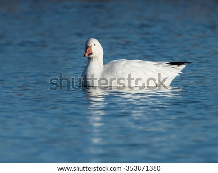 Snow Goose Swimming in Blue Water - stock photo