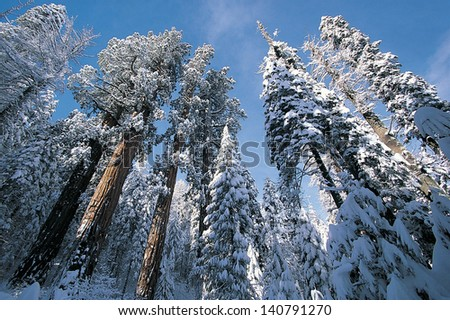 Snow in Sequoia National Park in California - stock photo