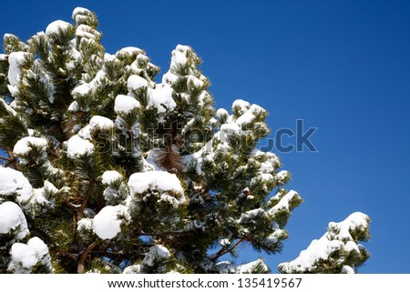 Snow in the pine trees under a clear blue sky