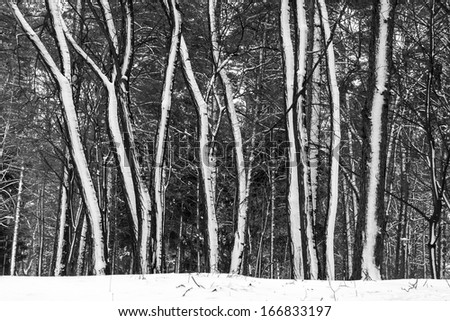 Snow in winter forest. Rhythm of trees.