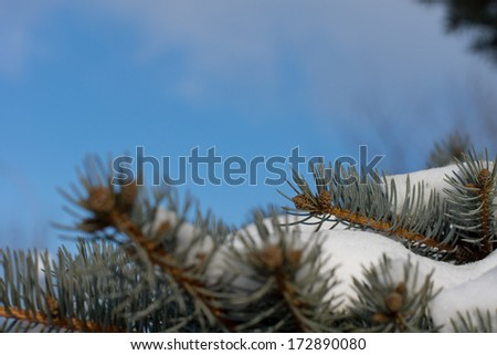 Snow-laden pine branches against a blue sky on a clear crisp winter day with copyspace - stock photo