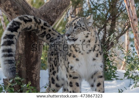 Snow Leopard and Tail