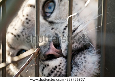 snow leopard blue-eyed snout closeup view behind the zoo bars