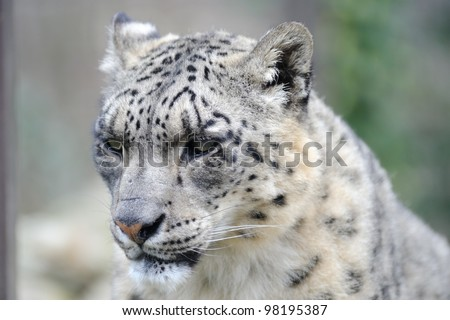 Snow leopard close-up of head