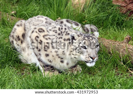 crouching leopard stock images royaltyfree images