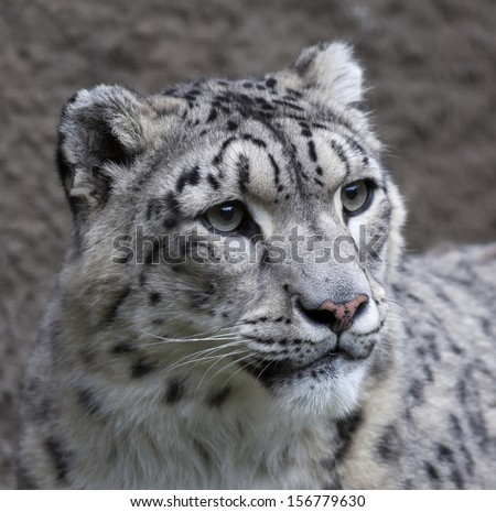 Snow leopard female on gray background. Very beautiful and grace animal, but dangerous beast of cold mountains. An excellent specimen of wildlife and inimitable beauty of nature.