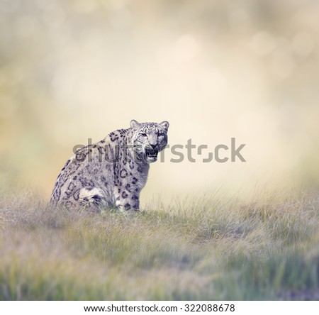 Snow Leopard in the Grass - stock photo