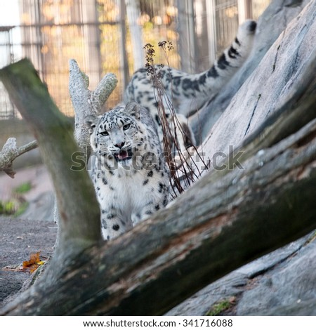 snow leopard in the zoo outdoor volary - stock photo