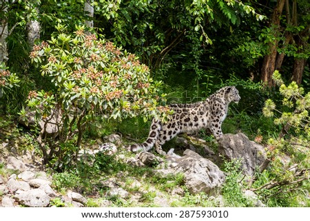 Snow Leopard in Zoo Zurich, Switzerland - stock photo