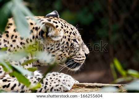 Snow Leopard Irbis (Panthera uncia) leopard looking for prey - stock photo