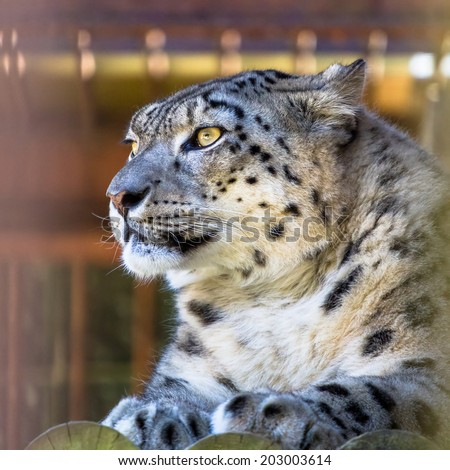 Snow leopard looking into the distance closeup - stock photo