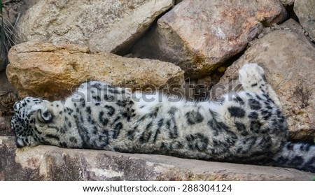 Snow Leopard Lying down on rocks. The snow leopard (Panthera uncia) is a large cat native to the mountain ranges of Central and South Asia.