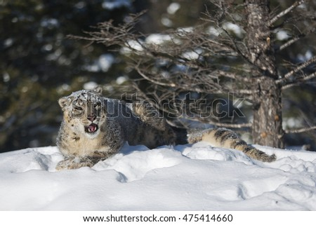 Snow leopard observing around for prey