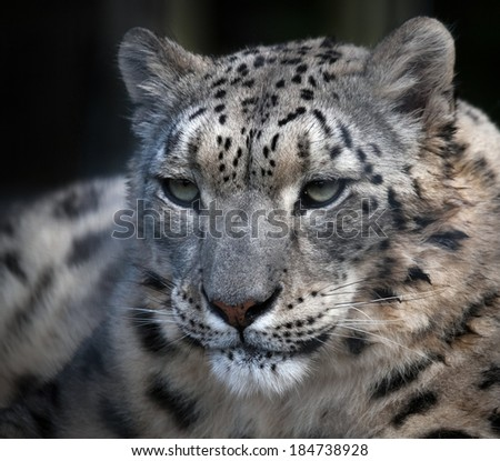 Snow Leopard (Panthera uncia) - stock photo