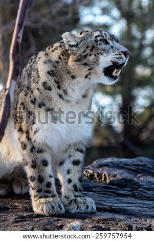 Snow Leopard (Panthera uncia) male with tongue, captive. - stock photo