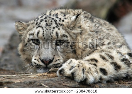 Snow leopard (Panthera uncial).   - stock photo