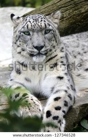 snow Leopard Portrait of a Snow Leopard - stock photo