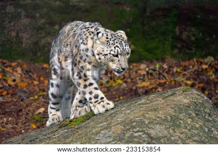 Snow Leopard Searching for Food