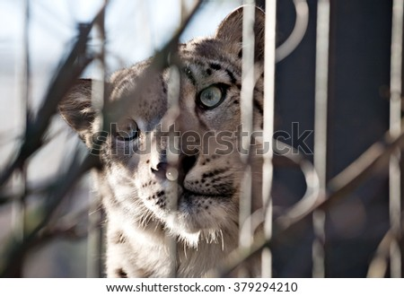 snow leopard snout closeup front view in outdoor zoo - stock photo