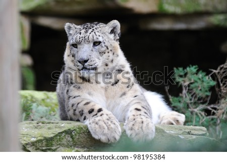 Snow leopard watching for prey - stock photo