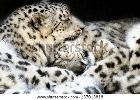 Snow Leopards Sleeping  - stock photo