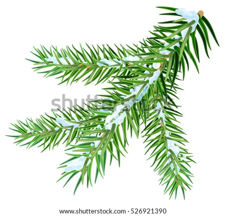 Snow lies on spruce branch. Isolated on white illustration