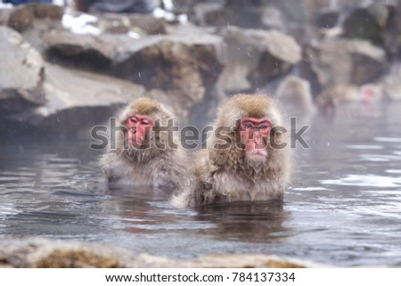 Snow monkey entering Jigokudani onsen. As a snow monkey entering a hot spring, It is widely known to people all over the world.