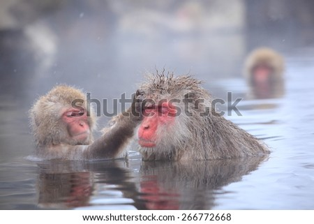 Snow monkey in hot spring, Jigokudani, Nagano, Japan - stock photo