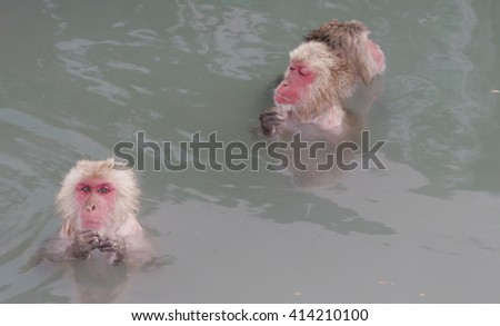 Snow Monkey in Hot Spring Water Thinking. Japanese Macaque Onsen Monkey. - stock photo
