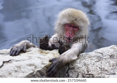Snow monkey  (Japanese macaque) relaxing in a hot spring pool. - stock photo