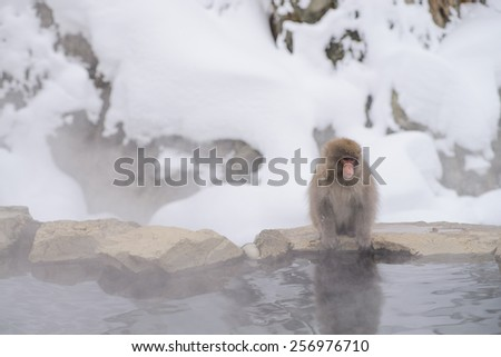 Snow monkey sit on the edge of hot spring . Nagano. Japan