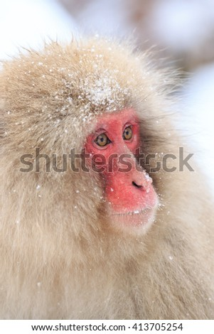 Snow Monkeys in Jigokudani Monkey Park, Nagano, Japan