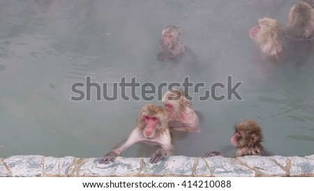 Snow Monkeys Relaxing in a Hot Spring. Japanese Macaque Onsen Monkey. - stock photo