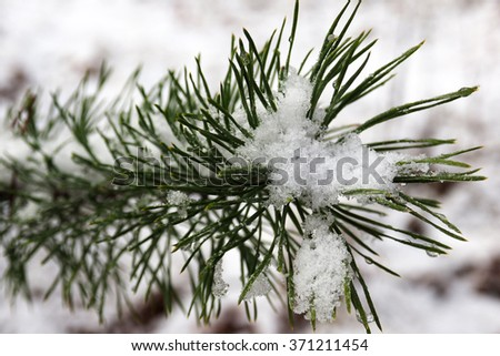 Snow on a spruce branch in the winter. Macro photography of snow flakes. Beautiful nature winter in the woods. Frost cold days. - stock photo