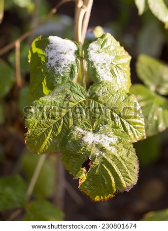 snow on green leaves - stock photo