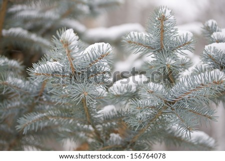 Snow on the blue spruce branches