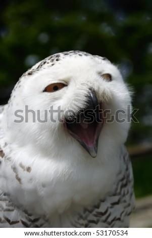 Snow Owl- Bubo scandiacus, Nyctea scandiaca - stock photo