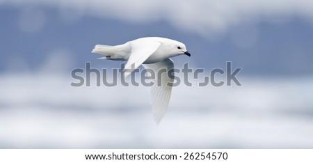 Snow Petrel - Antarctica - stock photo