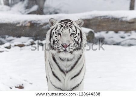 snow tiger - stock photo