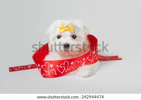snow white cute puppy Maltese dog posing with red gift ribbon - stock photo