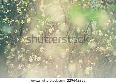 Snowberry  - stock photo