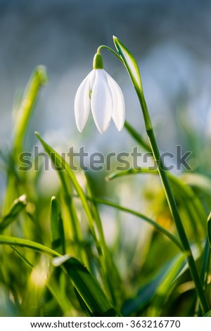 Snowdrop flower in the nature - photo with extremely blurred background - stock photo