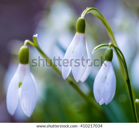 Snowdrop flowers after in evening light
