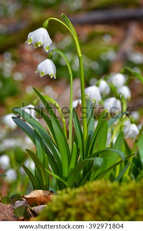 Snowdrop flowers blooming in spring - stock photo