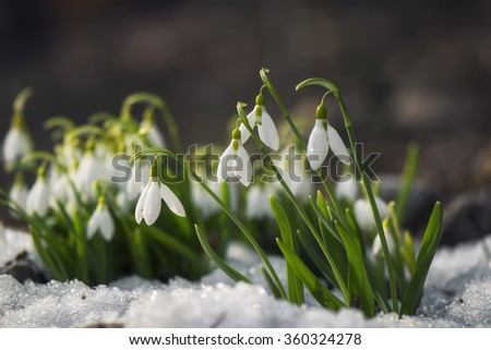 Snowdrop flowers blooming in winter - stock photo