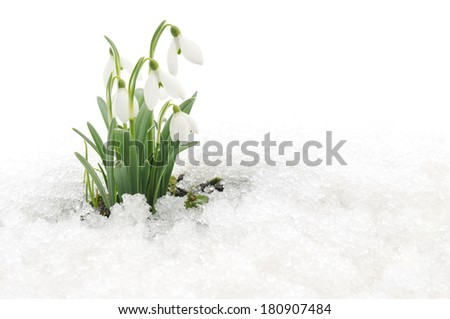 Snowdrop flowers coming out from real snow - stock photo