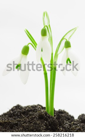 snowdrop flowers on a white background
