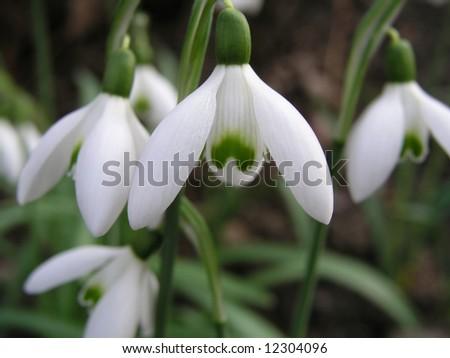 Snowdrops - stock photo