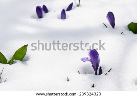 snowdrops crocus flowers in the snow Thaw - stock photo