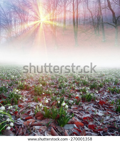 Snowdrops - delicate spring flowers growing in moist protected forests and swamps and forests on the background - beech and spruce that bloom in March and fill the air with a strong aroma beautiful - stock photo